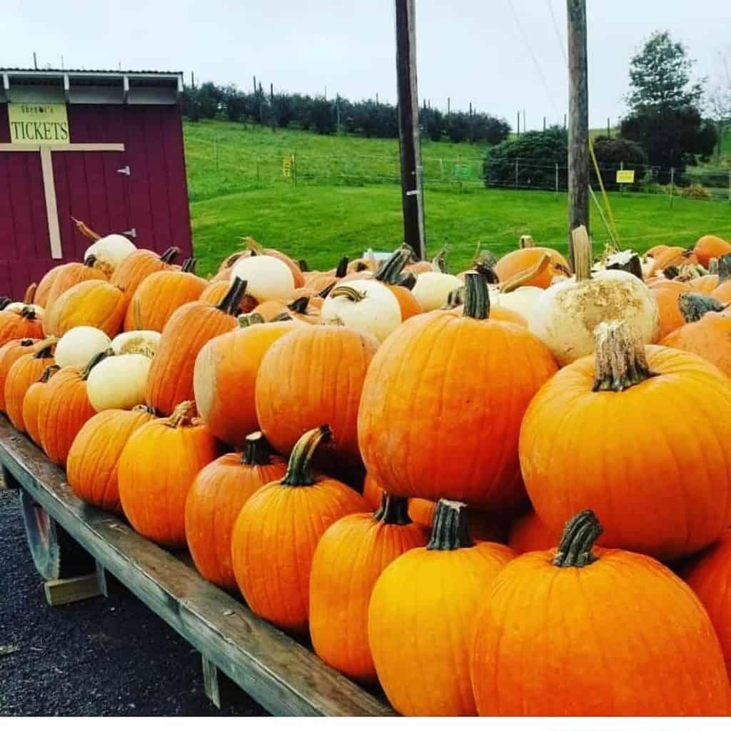 Fall Festivals Near Me: Shenot Farm's Pumpkin Patch is open for the season!